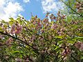 Prunus serrulata plant.jpg
