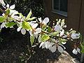 Prunus tomentosa5.jpg