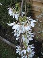Prunus yedoensis2.jpg