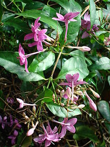 Pseuderanthemum laxiflorum -Purple Dazzler-.JPG