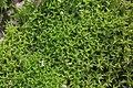 Pseudocrossidium hornschuchianum (a, 153251-482343) 8546.JPG