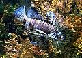 Pterois volitans Sea aquarium Malta 2014 1.jpg