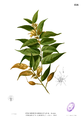 Pterospermum semisagittatum Blanco2.456.png