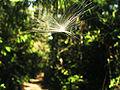 PuertoMaldonado LagoSandoval Falling seed.jpg