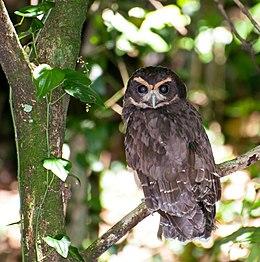 Pulsatrix koeniswaldiana -Parque Estadual da Serra da Cantareira, Sao Paulo, Brasil-8