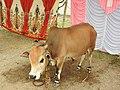 Punganur cattle-1-praba pet-salem-India.jpg