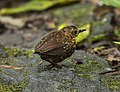 Pygmy Wren-Babbler - Gunung Gede, West Java, Indonesia.jpg