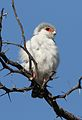 Pygmy falcon, or African pygmy falcon, Polihierax semitorquatus, at Kgalagadi Transfrontier Park, Northern Cape, South Africa. (34128949320).jpg