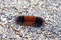 Pyrrharctia isabella - Caterpillar - Cape Cod - 2014-10-04.jpg