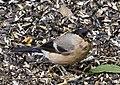 Pyrrhula pyrrhula -Sculthorpe, England -female-8.jpg