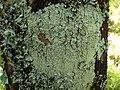 Pyxine subcinerea Stirton 420916.jpg
