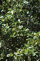 Quercus chapmanii (23515117524).jpg