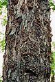 Quercus macranthera bark 1.jpg