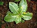 Quercus pontica.JPG