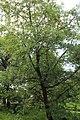 Quercus pyrenaica BotGardBln 20170610 K.jpg