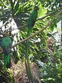 Quetzal nido.jpg