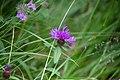 Rödklint. Centaurea jacea-0866 - Flickr - Ragnhild & Neil Crawford.jpg