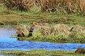 Rödspov Black-tailed Godwit (20351295745).jpg