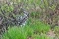 Rachyn Horokhivskyi Volynska-Luha-Rachynska nature reserve-Carex umbrosa-2.jpg