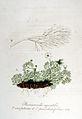 Ranunculus aquatilis — Flora Batava — Volume v6.jpg
