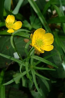Ranunculus auricomus (type species)