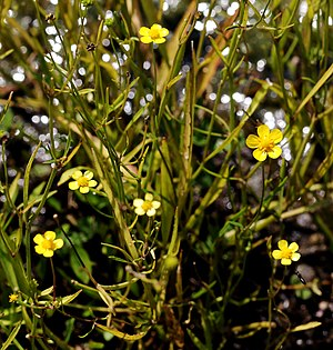 Ranunculus flammula - Image: Ranunculus flammula Prague 2012 2