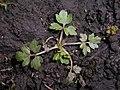 Ranunculus repens 2018-04-12 8292.jpg