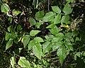 Raspberry (Rubus idaeus) - Oslo, Norway 2020-08-15 (03).jpg