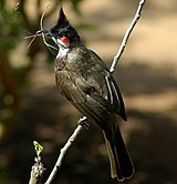 Red-whiskered Bulbul-web.jpg
