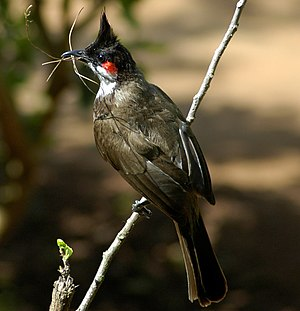The Red-whiskered Bulbul belongs to the Asian ...