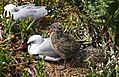 Red Billed gull and chick. (9149391932).jpg