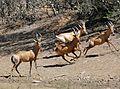 Red Hartebeests (Alcelaphus buselaphus) leaving the waterhole ... (32189843940).jpg