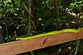 Red Tailed Racer (Gonyosoma oxycephalum) on the handrail (23173974966).jpg