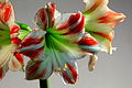 Red and White Amaryllis (8256998247).jpg