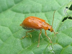 Red melon beetle (Aulacophora africana) on cucumber (6971550311).jpg
