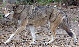 Red wolf (4531335218)