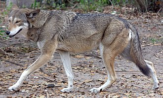 Red wolf - Red wolf showing typical coloration