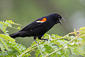 Redwinged Blackbird m 7324.jpg