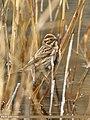 Reed Bunting (Emberiza schoeniclus) (32098953305).jpg