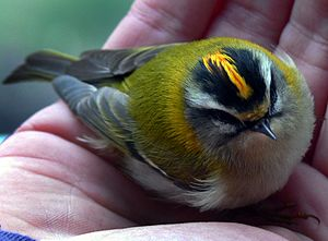 Common firecrest - A temporarily stunned adult male found on a pavement in Lille, France. The pattern on its head is seen clearly.