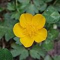 Renoncule rampante (Ranunculus repens).jpg