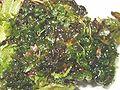 Rhizomnium magnifolium.jpeg