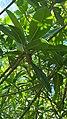 Rhizophora mangle (Savaneta, Aruba) 3.jpg