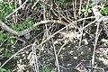 Rhizophora mangle 28zz.jpg