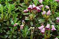 Rhododendron campylogynum.jpg