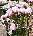 Rhododendron chapmanii.jpg