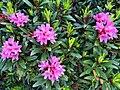 Rhododendron ferrugineux-Rose des Alpes (Rhododendron ferrugineum) en Vanoise.jpg
