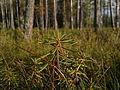 Rhododendron tomentosum, Finland.jpg