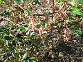 Ribes gordonianum (1).jpg
