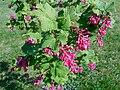Ribes sanguineum 2017-05-16 0272.jpg